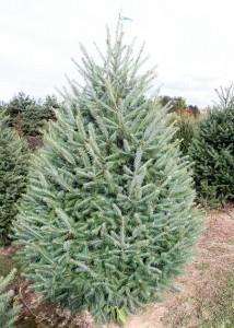 091014 tree farm11